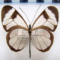 Loài bướm với đôi cánh trong suốt này sẽ có ngày cứu lấy đôi mắt của chúng ta