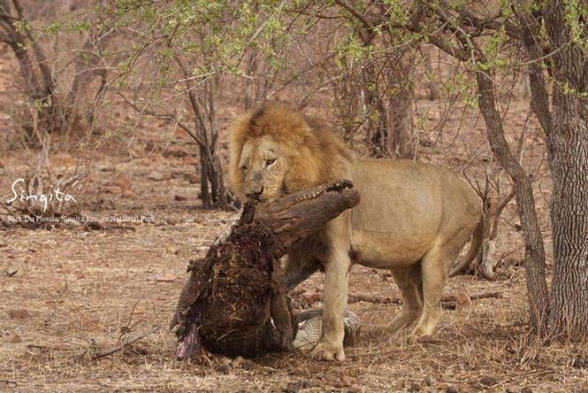 Sư tử đực xé xác cá sấu.