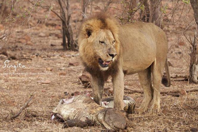 Con sư tử đực đã có bữa tiệc thịt cá sấu thịnh soạn cho riêng mình.