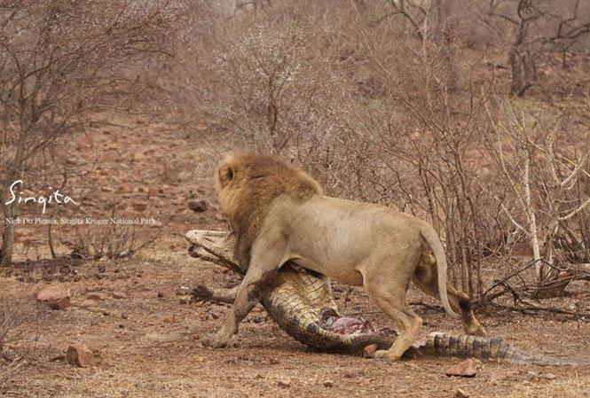 Việc quá ham mồi đã khiến con cá sấu bị sư tử giết chết.