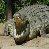 Điểm yếu của loài cá sấu lớn nhất châu Phi