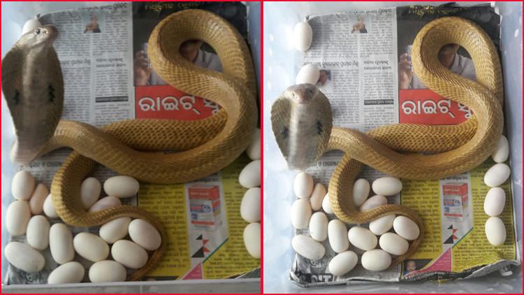 Hổ mang chúa màu vàng đẻ tổng cộng 23 quả trứng.