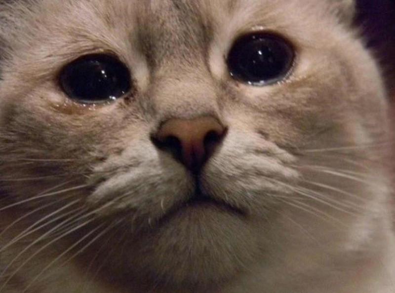 Mèo có thể rơi lệ, nhưng không phải vì cảm xúc.