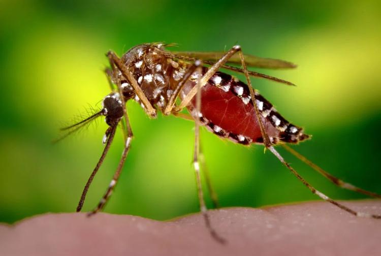 Muỗi vằn Aedes aegypti là trung gian chính truyền bệnh sốt xuất huyết dengue