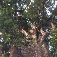 """Cận cảnh cây pơ mu """"khủng"""" gần 1.000 tuổi vừa phát hiện Hà Tĩnh"""
