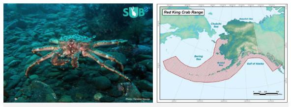 Giống cua đỏ thuộc loài cua hoàng đế Alaska (trái) và địa bàn phân bố của nó (phải)