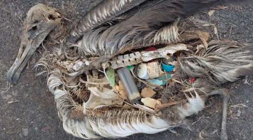 Xác của những chú chim biển cho thấy chúng đã ăn phải rất nhiều rác thải