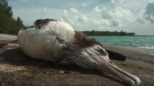 Hàng nghìn chú chim đã chết trên đảo Midway