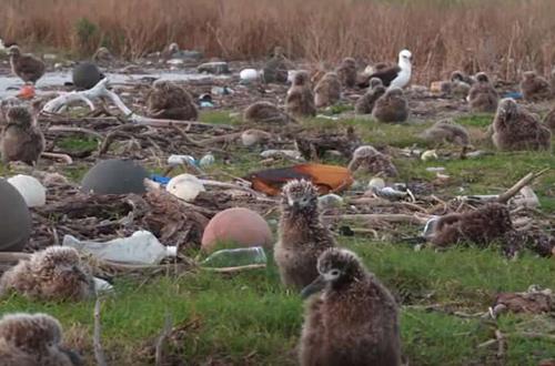 """Những chú chim non bị bao vây giữa """"biển rác"""""""