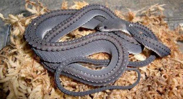 Loài rắn rồng có chiều dài trung bình khoảng 60cm