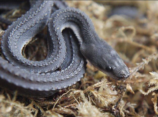 Rắn rồng thường sinh sống ở những khu vực gần nước hoặc suối