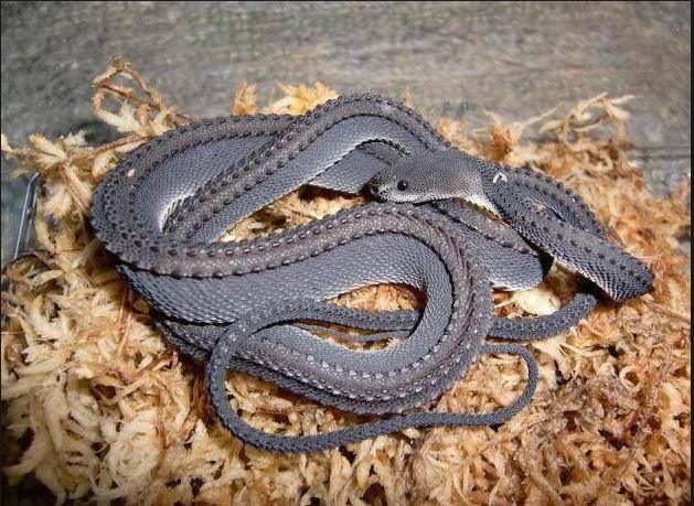 Rắn rồng là một loài rắn hiếm