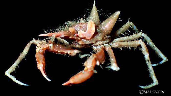 """Trong ảnh là loài cua """"Big Ears"""", dài 6cm, được tìm thấy ở độ sâu hơn 1.000m"""