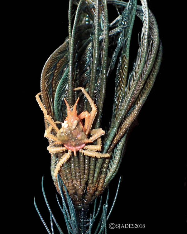 """Loài cua """"Clinger"""", dài 6cm, sống ở độ sâu 800 - 1.200m"""