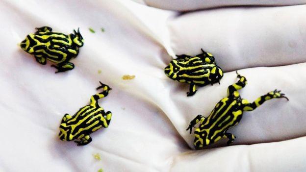 Nấm chytrid có ảnh hưởng nặng nề tới loài ếch Corroboree cực kì nguy cấp