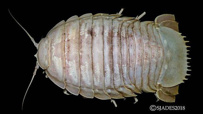 Còn đây là loài gián biển khổng lồ Bathynomus, với kích thước 30cm, được tìm thấy ở độ sâu 1.300m