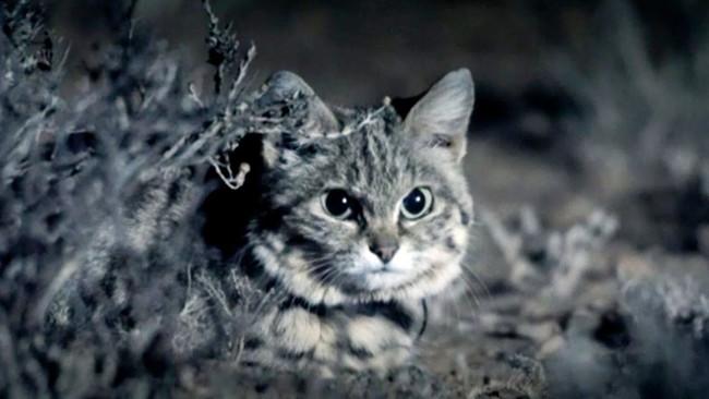 Mèo Chân Đen