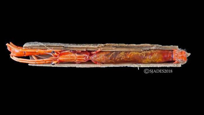 Một loài tôm ở nhờ có kích thước từ 12-15cm, được tìm thấy ở độ sâu 370