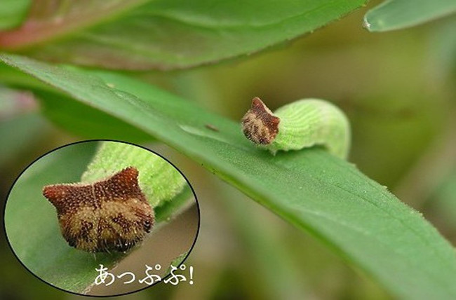 Loài sâu bướm nâu Trung Quốc có mặt giống mèo Hello Kitty.