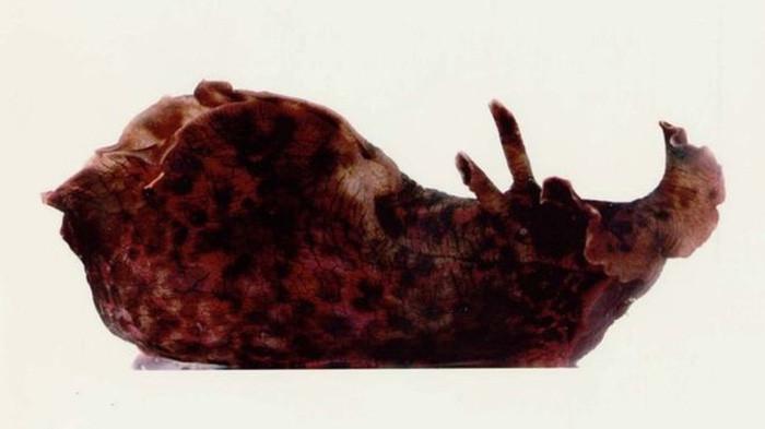 Con sên biển dùng trong thí nghiệm của các nhà khoa học Mỹ