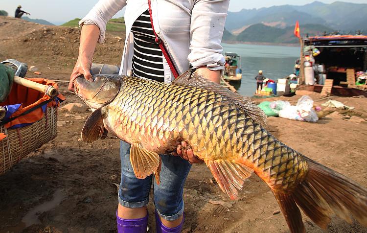Những con cá nặng 30kg xuất hiện hàng ngày, có ngày dân đánh lưới đưa về cá mè cá lăng hơn nặng nửa tạ