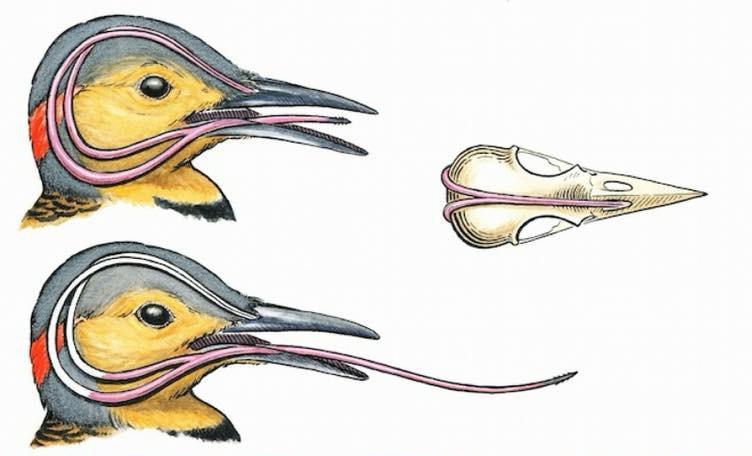 Cái lưới quá dài, chim gõ kiến luồn chạm vào sọ, bọc quanh não luôn.