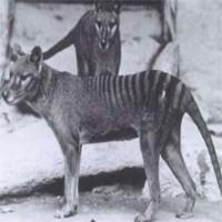 """Hổ Tasmania sắp được """"cải tử hoàn sinh"""""""