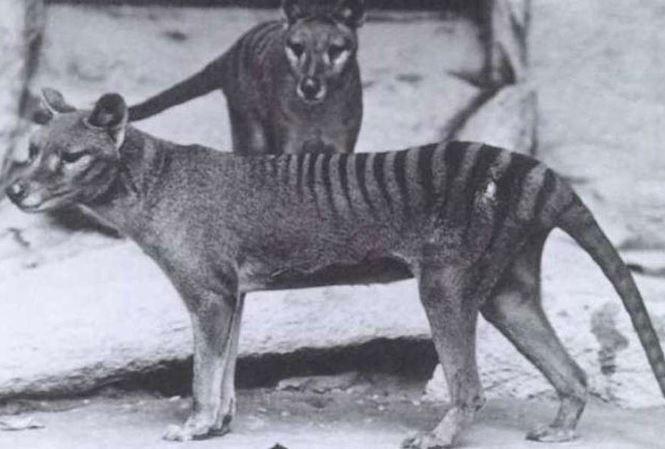 Hổ Tasmania.
