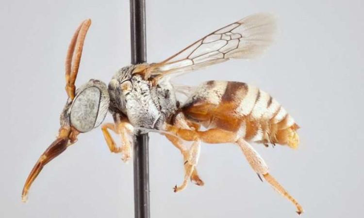 Ong cúc cu không có những sợi lông - dụng cụ để thu thập phấn hoa.