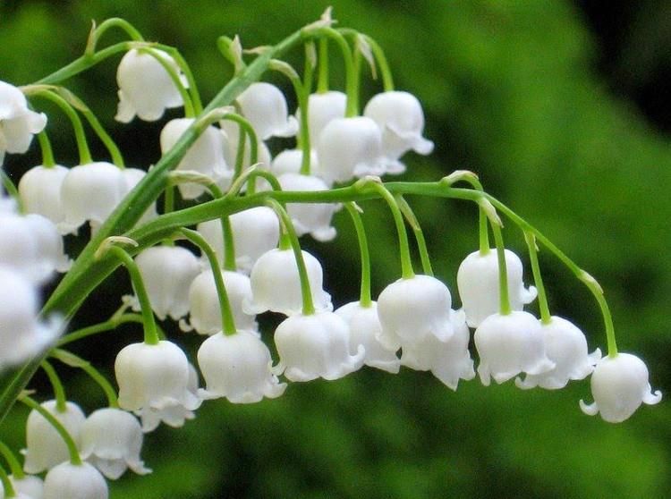 Điều bất ngờ về hoa linh lan thơm nhất thế giới - KhoaHoc.tv