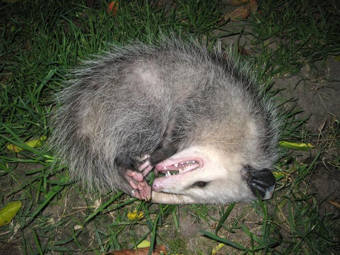 Chồn Opossum