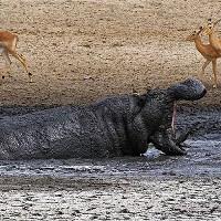 Hà mã tấn công trâu rừng để độc chiếm vũng nước