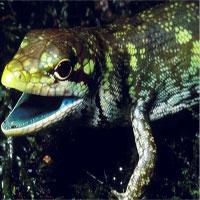 Loài thằn lằn có máu màu xanh lục và cực độc