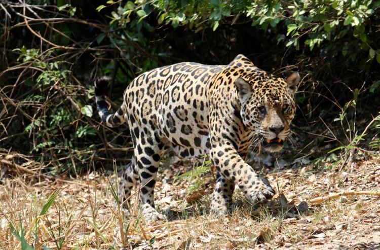 Báo hoa - dã thú săn mồi nguy hiểm của đầm lầy.