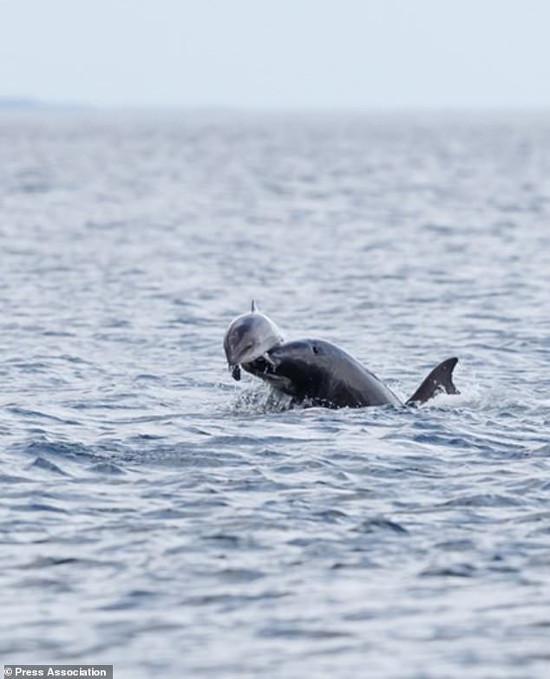 Hỗn chiến giữa hai loài cá heo ngoài khơi bờ biển nước Anh.
