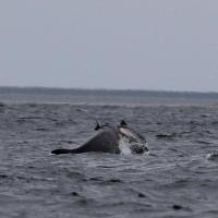 """Hai loài cá heo """"kịch chiến"""" trên biển khiến nhà khoa học bối rối"""