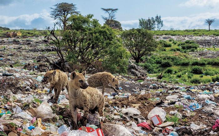 Linh cẩu kiếm ăn tại một bãi rác ở Harar, Ethiopia