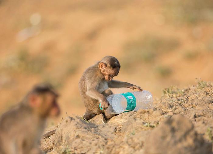 Chú khỉ con chơi đùa với vỏ chai nhựa.