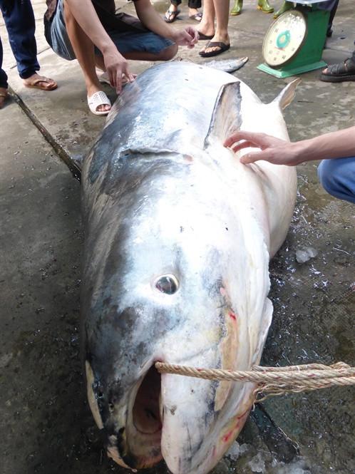 """Con cá tra dầu """"khủng"""" ngư dân bắt được trên sông Vàm Nao."""