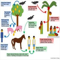 Những điều cần biết về loại virus lạ bùng phát,giết chết 9 người ở Ấn Độ