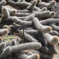 Độc đáo loài xương rồng tự chết để tiếp tục tồn tại và lan rộng khắp sa mạc
