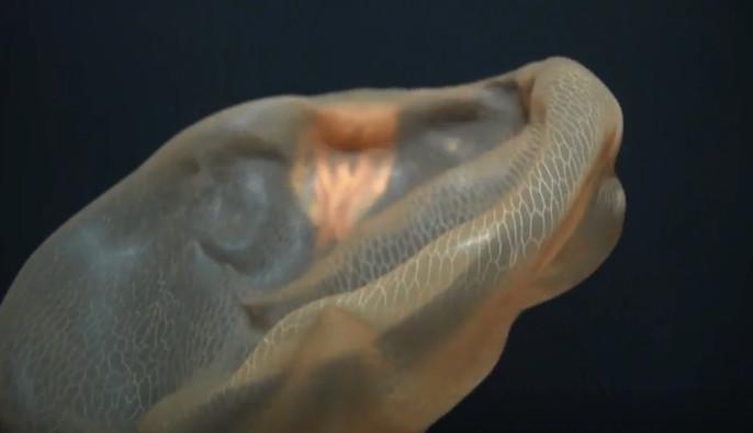 Con sứa kỳ lạ tiếp cận máy quay Hercules và tìm cách ăn cỗ máy
