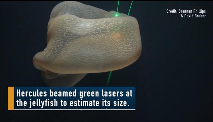 Deepstaria enigmatica được phát hiện lần đầu tiên vào năm 1966.