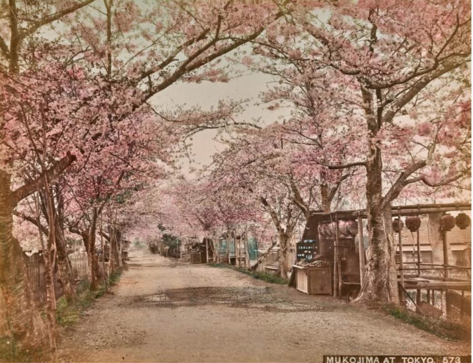 Con đường rợp bóng cây và hoa anh đào nở rộ ở công viên Mukojima.