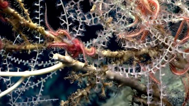 """Rừng san hô"""" dày đặc, ở độ sâu lên tới 2.300m phía Tây Florida (Mỹ)."""