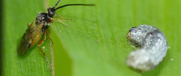 Loài sâu bướm Spodoptera littoralis (bên phải) -