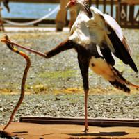 """Khám phá loài chim được mệnh danh """"sát thủ Taekwondo"""""""