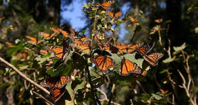Những lí do khiến bướm chết hàng loạt như vậy là tán rừng ngày càng thưa thớt.