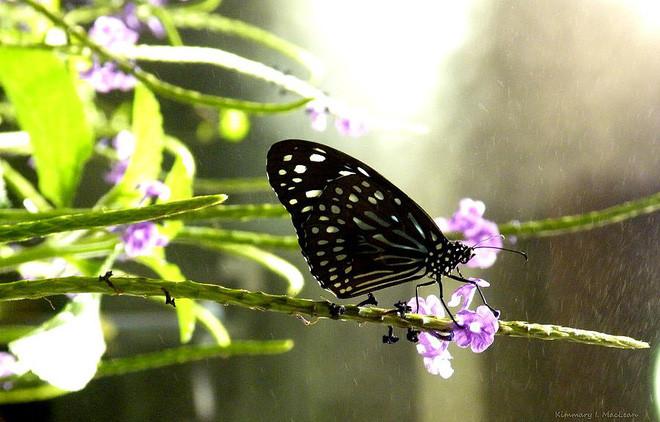 Vẻ đẹp của loài bướm khiến chúng bị săn bắt, giữ lại xác cho vào các bộ sưu tập.
