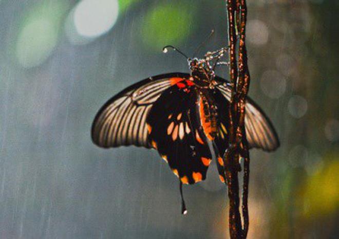 Hạt mưa có sức sát thương rất lớn đối với bướm.